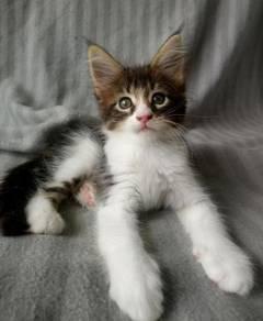 Purebreed Mainecoon Kitten
