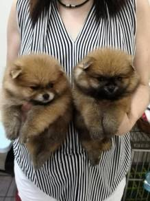 Pomeranian with mka
