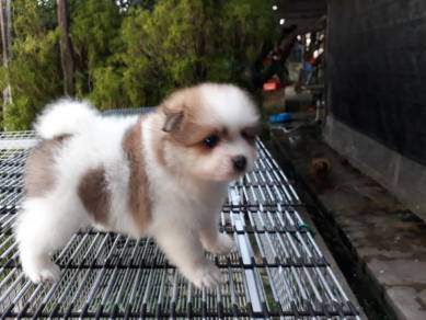 Pure Breed - Parti Colour - Cute puppy POM