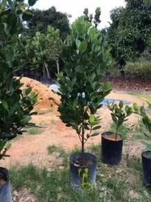 Garcinia Suberlliptica / Happiness Tree