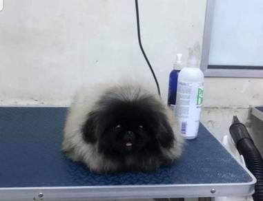 Premium Grade Pure Pekingese Puppy With Cert Sale