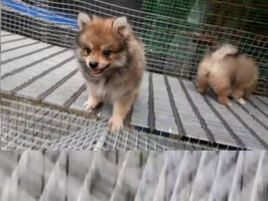 Puppy - Pure Breed POM
