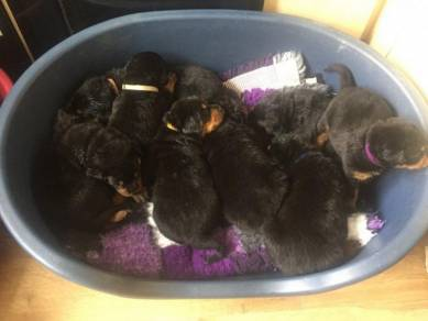 Registered Rottweiler Puppies