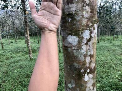 Kebun Getah Muda 3.5 Relung Kg Memali Potensi Income 2k sebulan