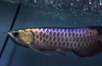 Arowana power blue base crossback