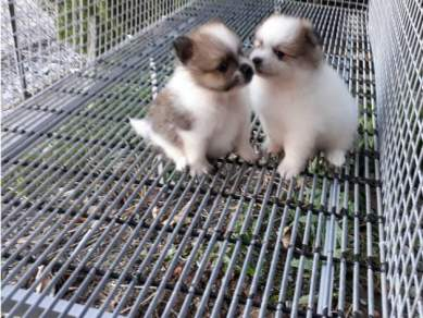 Lovely pet - Pure Breed POM Puppies - Parti Colour