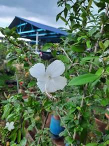 Benih bunga raya putih