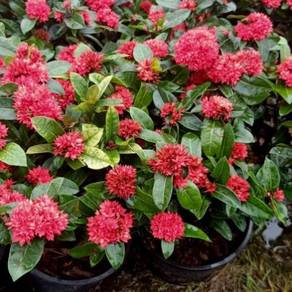 Bunga exora warna merah buat pagar