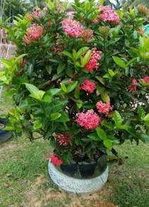 Bunga Exora / siantan / jejarum / Pecah warna pink