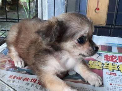 Adorable Pure Breed Chi Hua Hua puppy