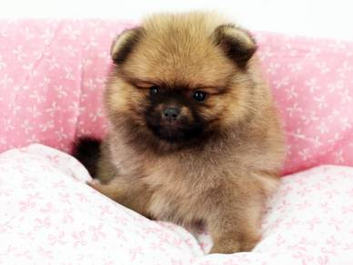 Champion Lineage Female Pomeranian Puppy (MKA)