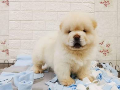 Chow Chow Puppy Pets For Sale In Malaysia Mudah My