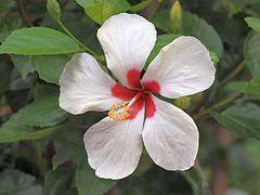 Benih Bunga raya putih merah