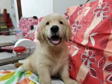 High Quality Bigboned Golden Retriever puppies