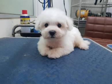 Pure Breed Bichon Frise Puppy with MKA Cert 090819