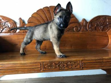 Excellent quality german shepherd puppies