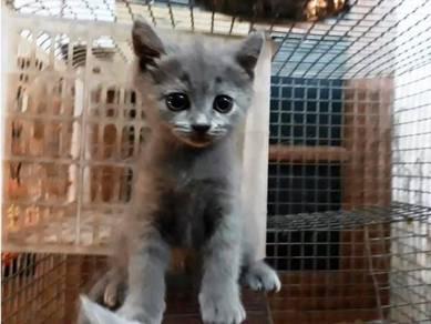 BSH Kitten - Pure Breed