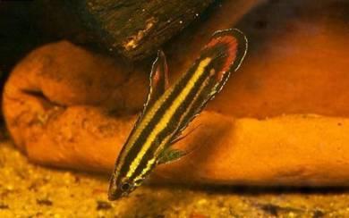Parosphromenus Rubrimontis | ikan betta wild