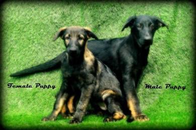 Pure Working Line German Shepherd Puppies
