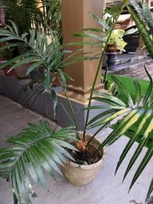 Pokok Paku Aji (Cycas)