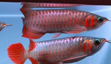 Super red arowana high quality