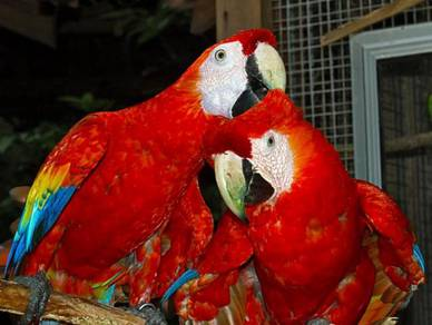 Red and blue wings Macaw