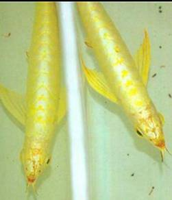 Arowana golden base crossback (wholesale price)