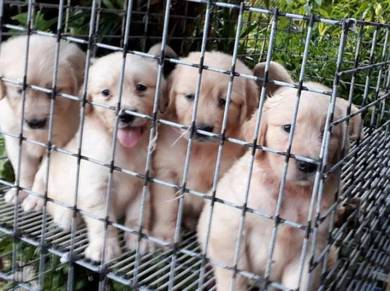 Pure Breed Golden Retriever Puppies