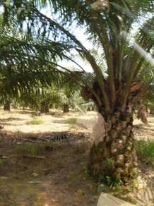 Bukit cantik kahang kluang palm with factory tree land to let go