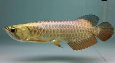 Arowana Blue base golden head crossback