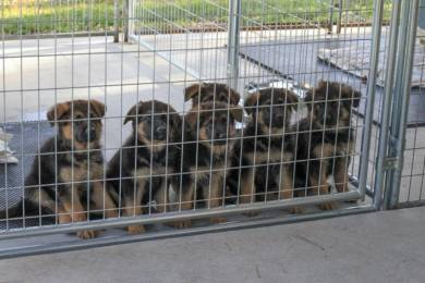 Chunky German Shepherd Puppies Ready Now