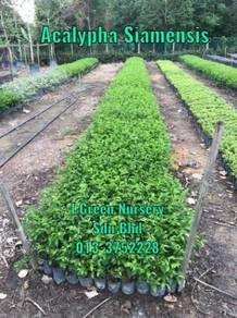 Hedge plants - Acalypha Siamensis