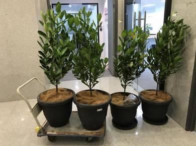 Indoor Tree (Pot) - Happiness Tree