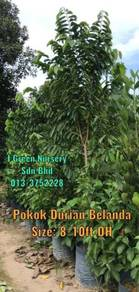 Pokok Besar Durian Belanda 3-4ft and 8-10ft