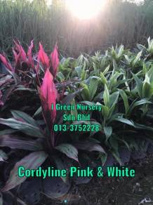 Cordyline Pink and White