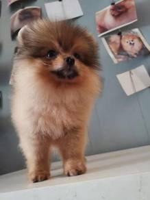 Pomeranian - Imported Lineage Triple Coated Mini