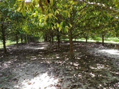 Bismillah, dusun durian dekat air terjun titi hayun ( durian manggis )