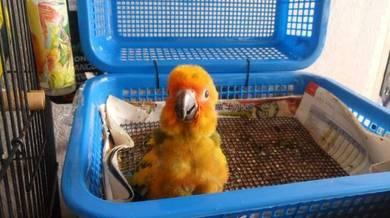 Aseel Parrot Beak - Pets for sale in Dungun, Terengganu