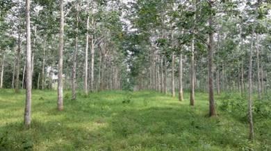 Kebun Getah di Kg Bukit, Pokok Sena
