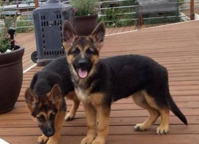 Imported German Shepard Puppies