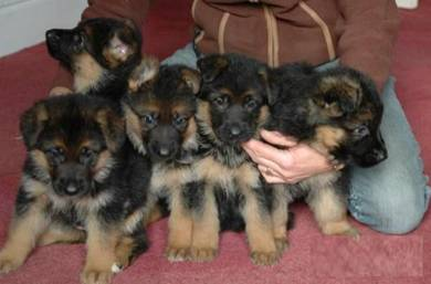 Big Bones German Shepard Puppies