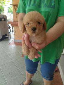 Toy Poodle with Mka and Microchip