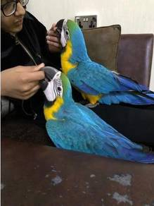 All our babies macaws do not bite