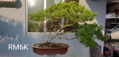 Bonsai plotted plant