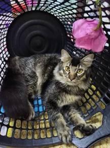 Maincoone mixed Persian male cat
