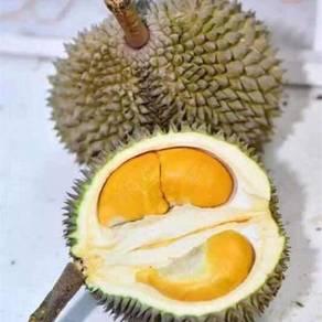 Ladang Durian Duri Hitam 2500 Pokok Untuk Dijual