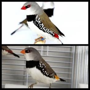 Burung sparrow australia#diamond firetailed sparow