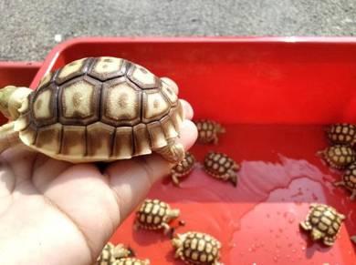 Kura kura tortoise sulcata