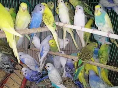 Burung baji c