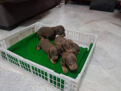 Smooth Coat Dachshund Puppies